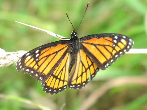 Monarch at Prarie Oaks Metro Park